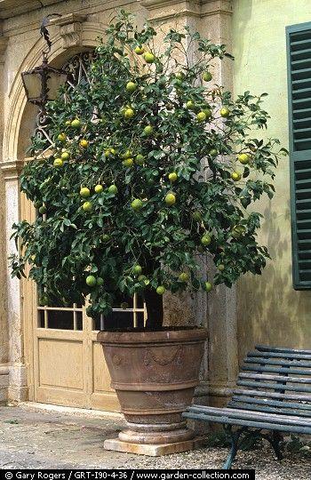 Pot à arbre géant ave arbre d'agrumes matûre