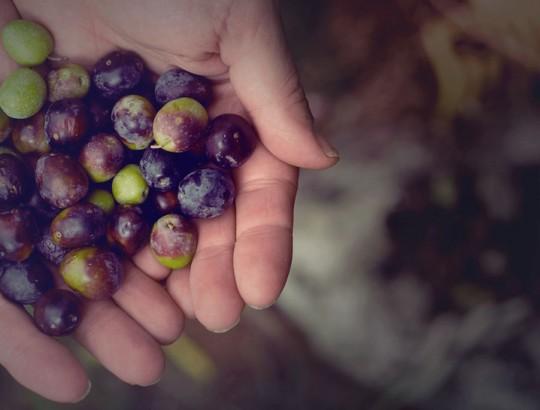 Vendange au Vignoble Carone à Lanoraie