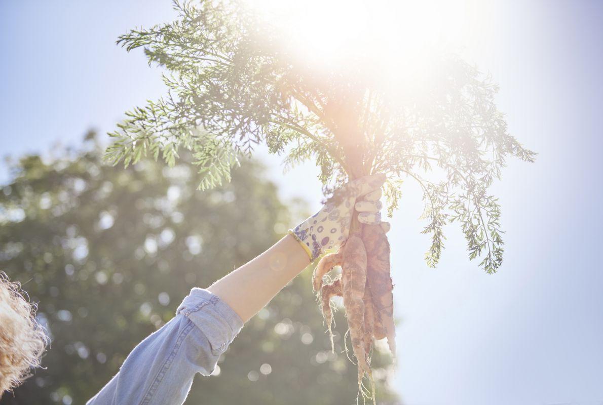 Plant de carrotte, panais et légumes racines