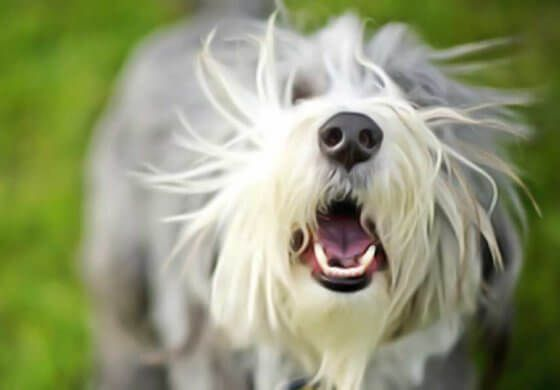 Image de chien qui jappe