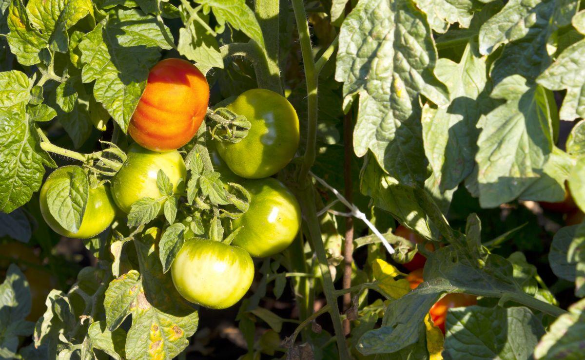 Plant de tomate dans son jardin