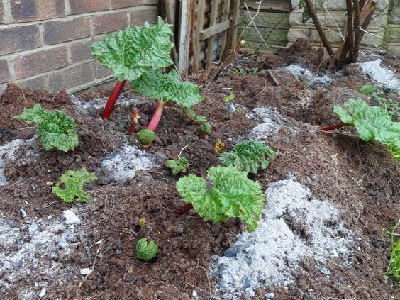 Cendre de cheminé ou de BBQ épendue autour des plants de jardin
